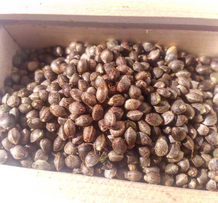 Just Harvested Cannabis Seeds
