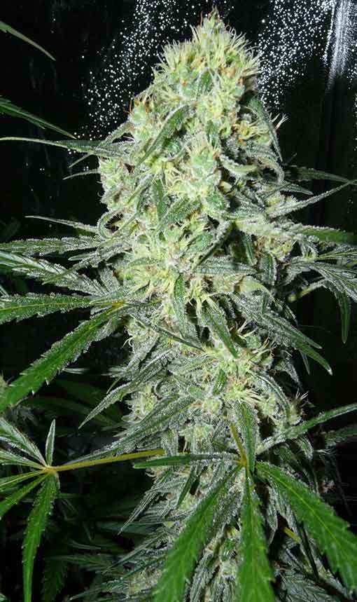 Sweet 'n Sour 56 days on 12/12