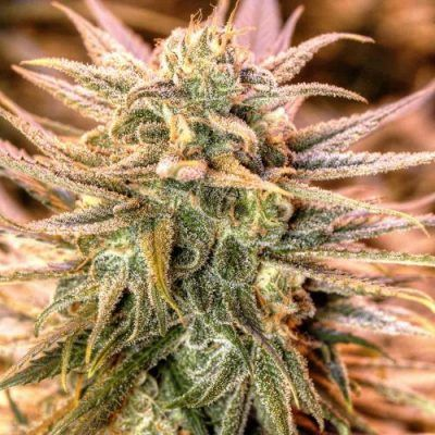 Gold Bar Kush Female Cannabis Seeds