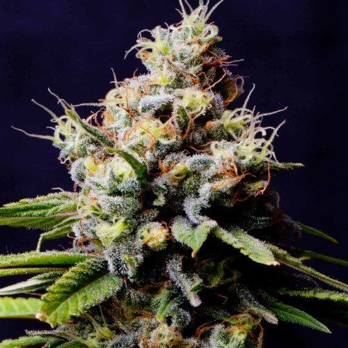 Purple Berry Kush Female Cannabis Seeds