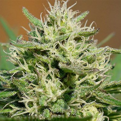 Lemon Cream Kush Automatic Semillas de Cannabis Feminizadas