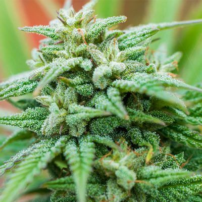 Photo Spliff Cheese Automatic Female Cannabis Seeds