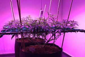 Low Stress Training (LST) For Maximum Yields