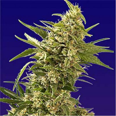 Photo Ak Female Cannabis Seeds