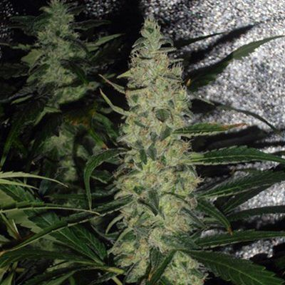 Semillas Regulares de Cannabis Super Skunk
