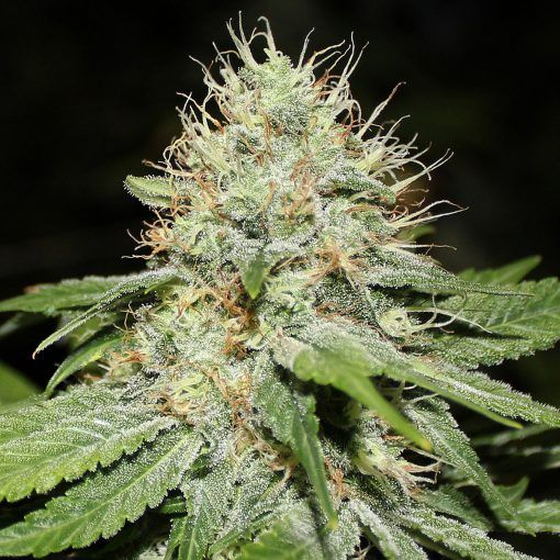 Semillas Feminizadas de Cannabis Sweet 'n Sour Indoor