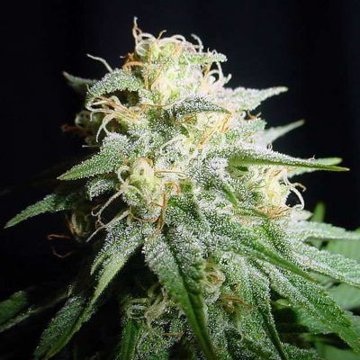 White Widow Automatic Semillas de Cannabis Feminizadas