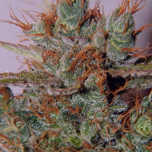 Foto - Semillas Regulares de Cannabis White Widow