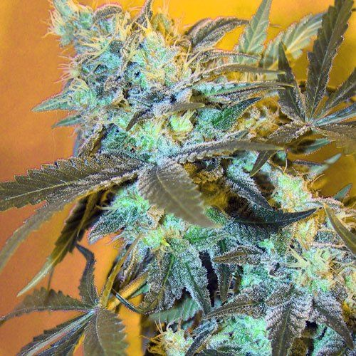 Photo White Widow Female Cannabis Seeds