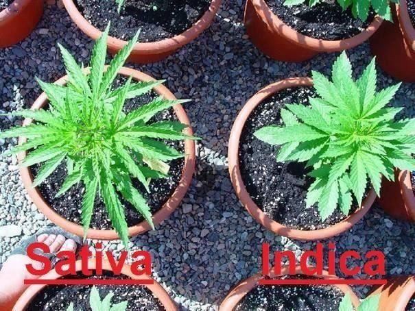 growing-cannabis-006