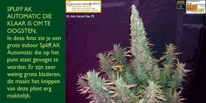 photo of Ak automatic autoflower seeds