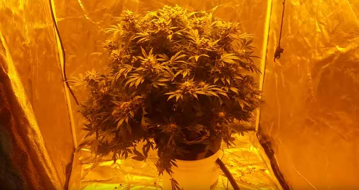 Big Cannabis Plant In A Dwc-grow