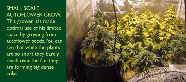 small autoflowering plants