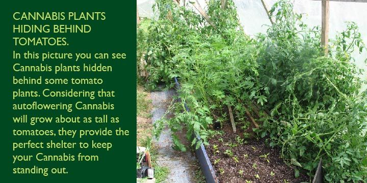cannabis plants hidden behind tomato plants