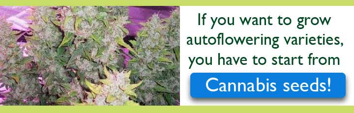 Click Here For Autoflowering Cannabis Seeds!