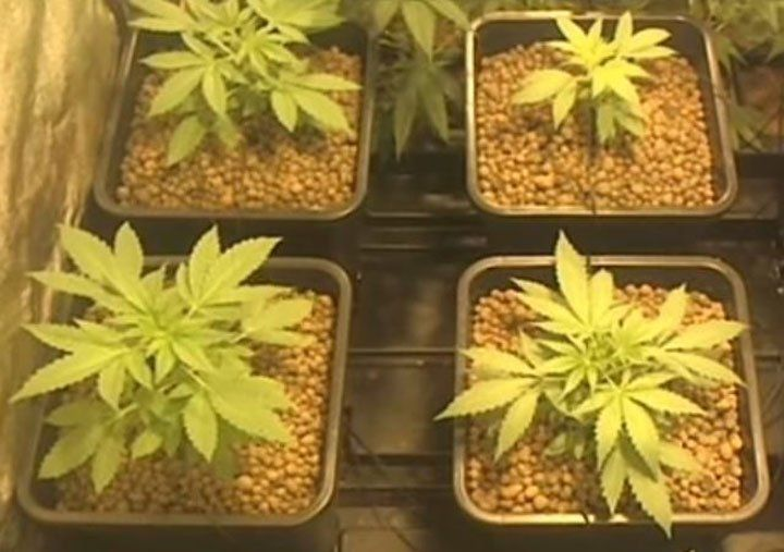 Growth rate is part of a cannabis plant phenotype