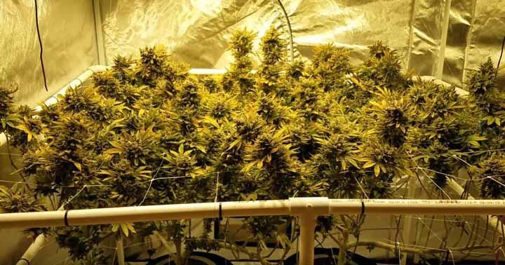 Roślina marihuany mocna Defoliacja
