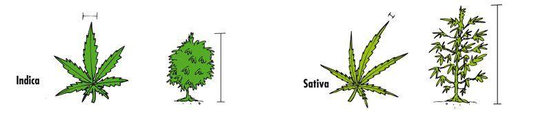 Sativa of Indica