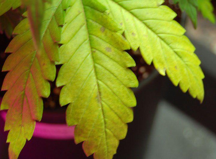 Manganese Deficient Cannabis plant