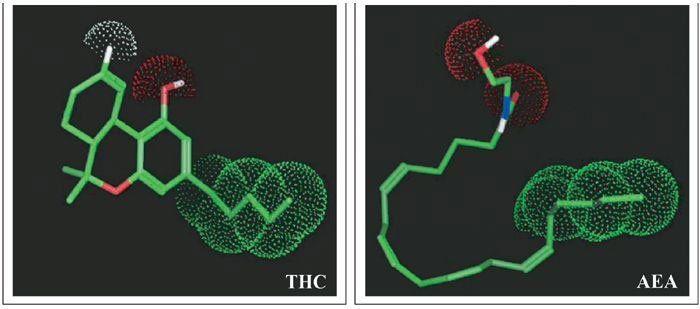Thc vs anandamide
