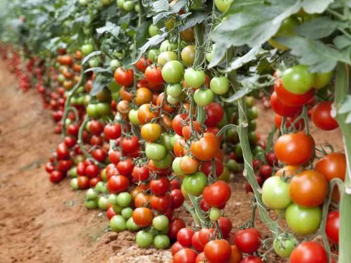 Rośliny pomidora Defoliacja