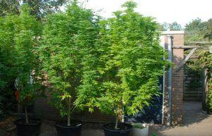 Grote Potplanten Voor Buiten.Twee Rondes Buiten Kweken Met Autoflowering Wiet Zaden Blog About