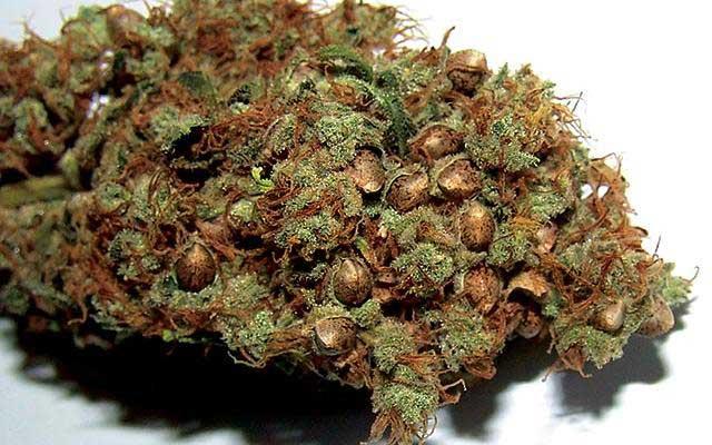 semillas de marihuana feminizadas en tu brote
