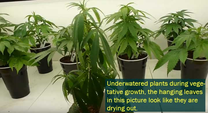 Planta de cannabis poco regadas