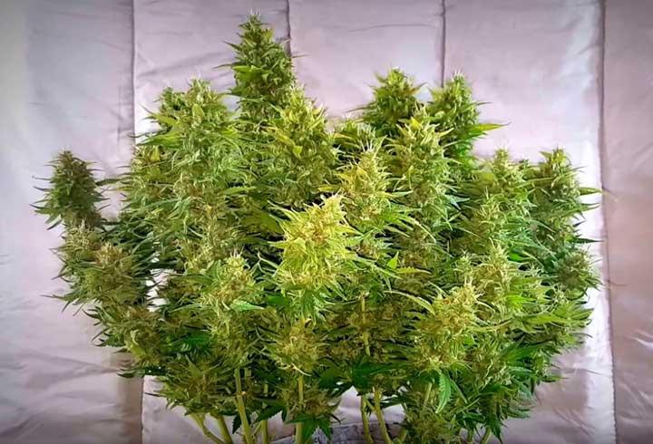 Planta de cannabis autofloreciente tras flux, lista para cosechar