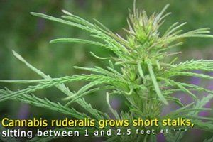 Wat Is Cannabis Ruderalis?