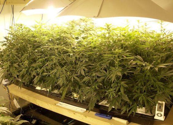 Cannabis Stekken Groeien Gelijkmatiger