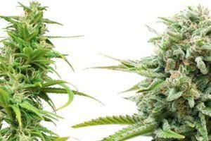 What Is Indica And What Is Sativa?