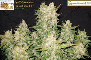 Spliff Cheese Automatic grow by Nemesis One