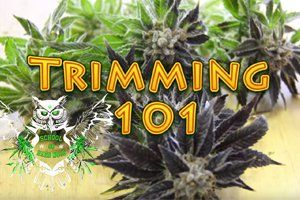 Trimming Cannabis 101