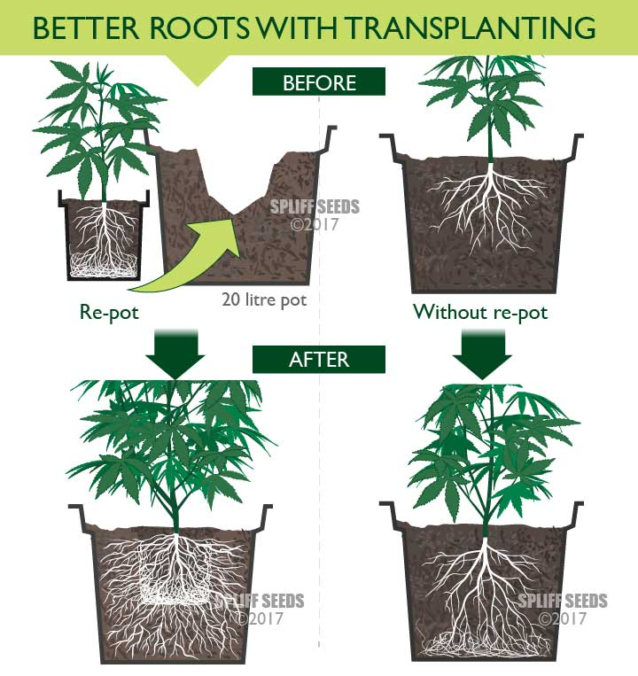 Drawing that shows the advantages of Re-potting your cannabis plant