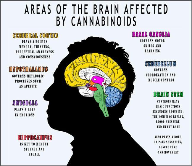 Delen Van De Hersenen Die Beïnvloed Worden Door Cannabis