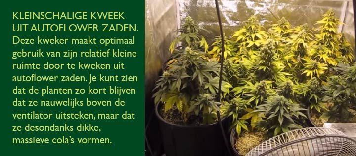 Kleine autoflower wiet planten