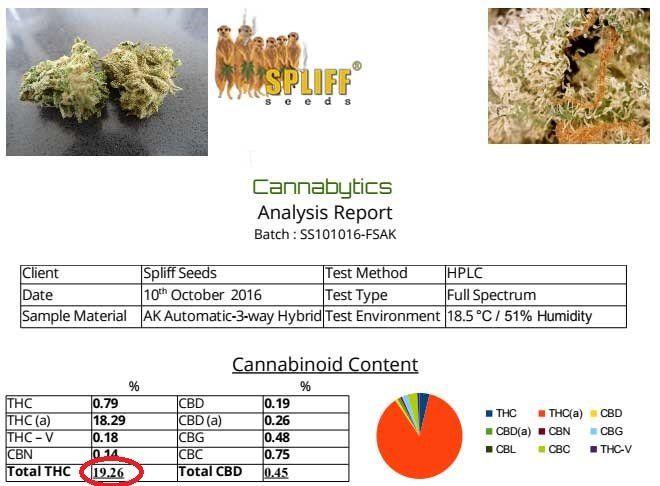 Cultivar sinsemilla con semillas feminizadas de cannabis
