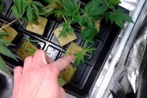 How To Get Cannabis Clones