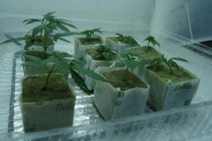 Choosing Between Cannabis Clones And Seeds