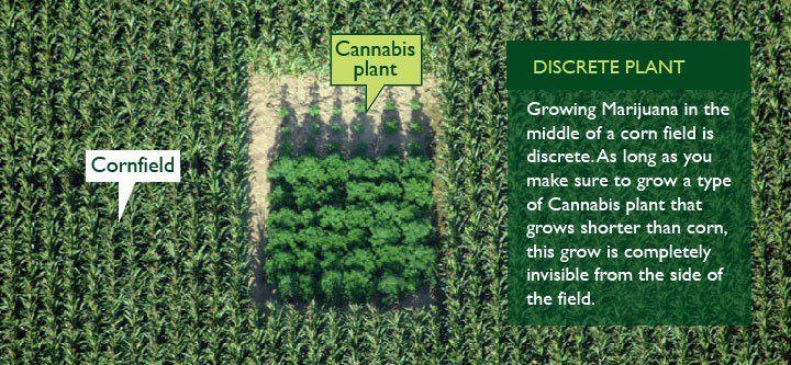 cannabis plants in a cornfield