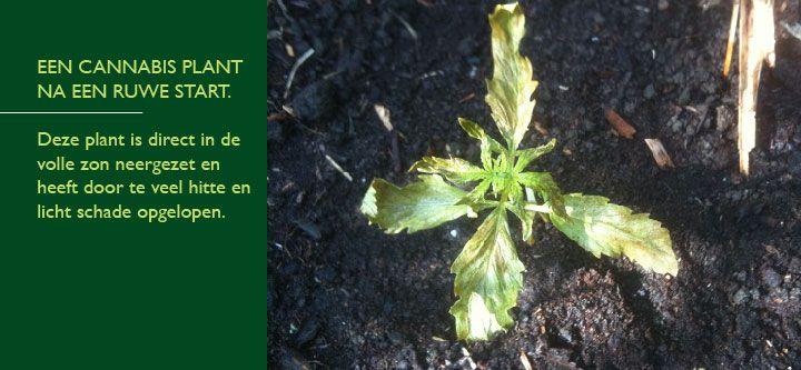 Dode cannabis plant
