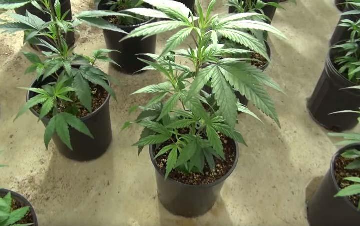 Wietplant Met Meerdere Nodes