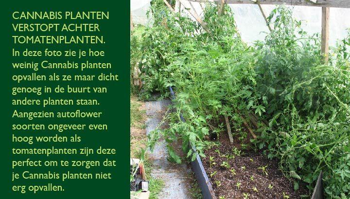 Wiet planten verstopt tussen de tomaten