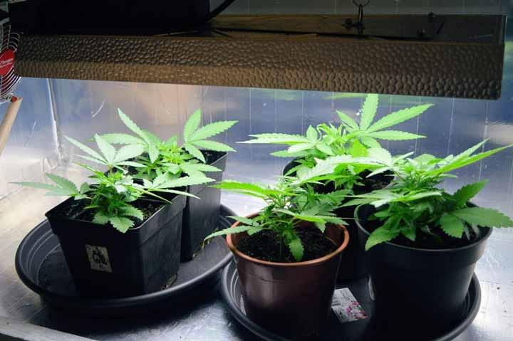 Wietplant Met Volwassen Bladeren