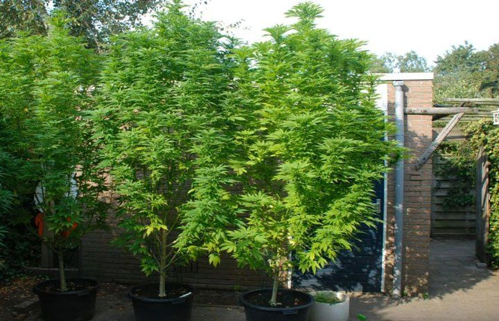 cannabis plants getting to big in a outdoor garden