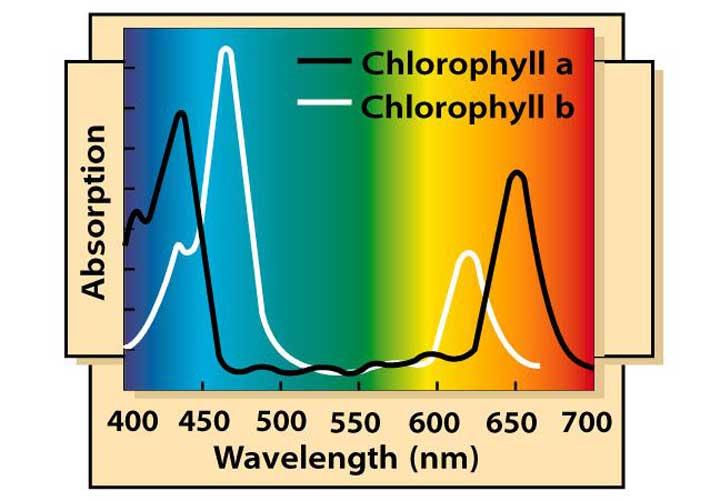Chlorophyll Absorptie