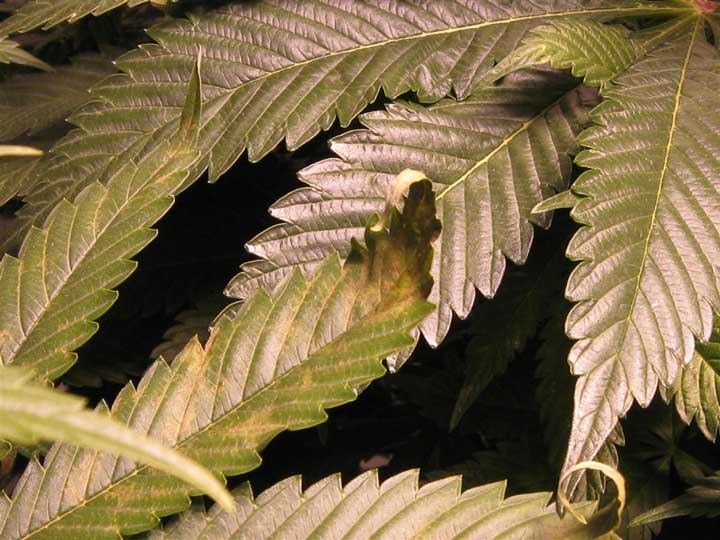 Copper Deficient Cannabis plant