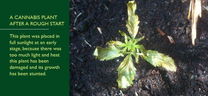 planta de cannabis dañada