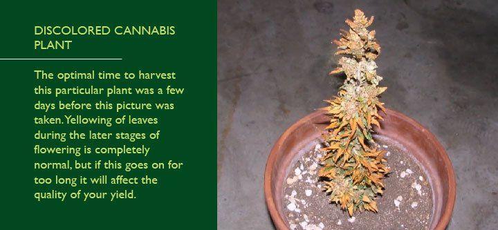 planta de cannabis cosechada muy tarde se seca completamente